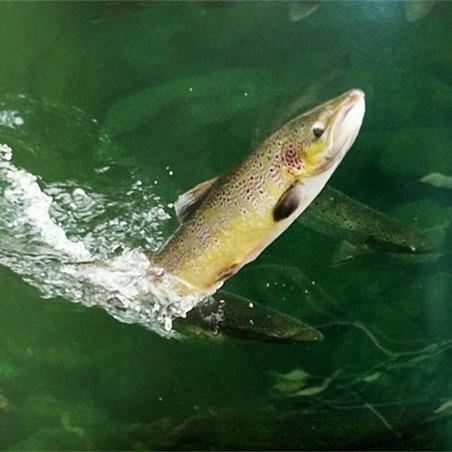 Libro Salmon Atlántico, regalo de pesca