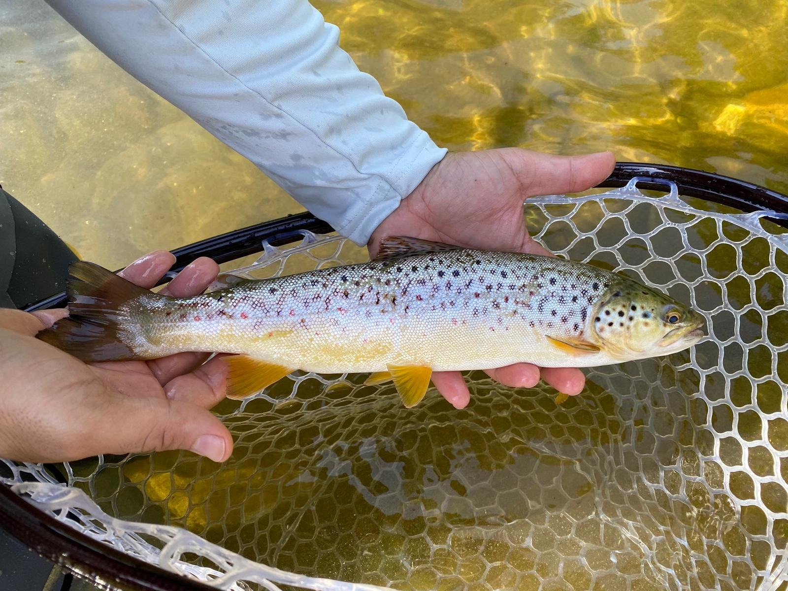 FLY FISHING TROUT WITH DROWNED FLIES